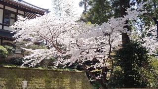 円覚寺桜.jpg