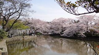 八幡宮桜.jpg