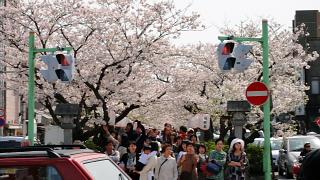 段かずら桜.jpg