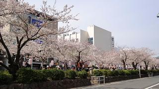 段かずら桜2.jpg