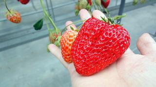 大きい苺.jpg