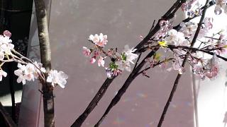 クリスタル桜アップ