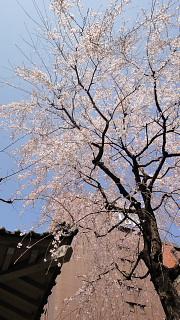 お寺枝垂れ桜