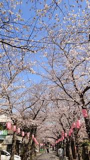 称名寺参道桜