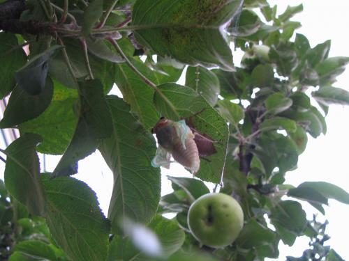 cicada_convert_20100801205038.jpg