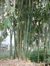yellowbamboo.jpg
