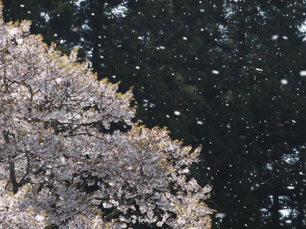 千年桜吹雪