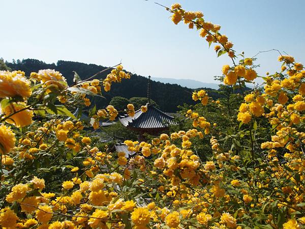 壷阪寺の山吹