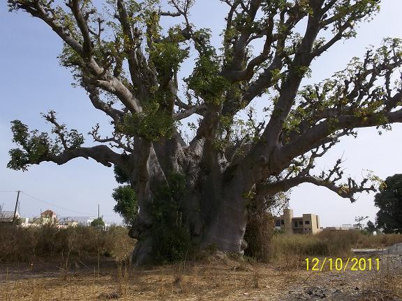 巨大バオバブの木