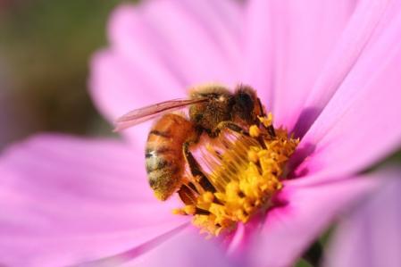 コスモスと蜜蜂_800
