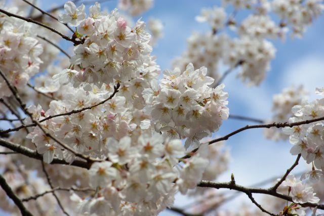 お花見・上野目黒川 024