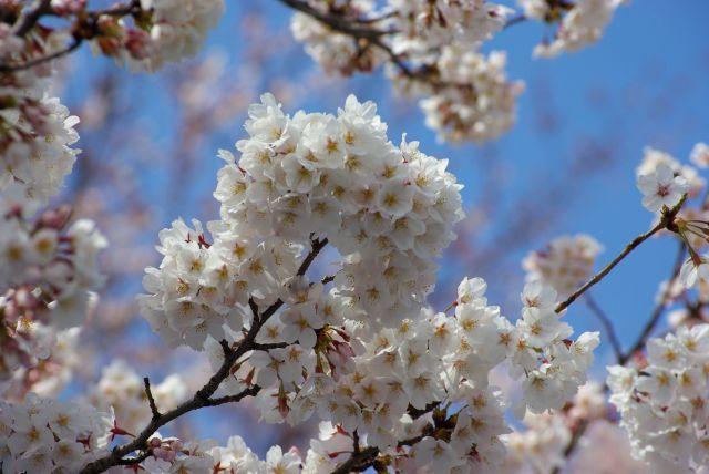 お花見・上野目黒川 098