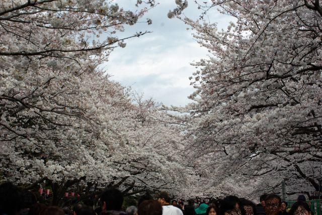 お花見・上野目黒川 016