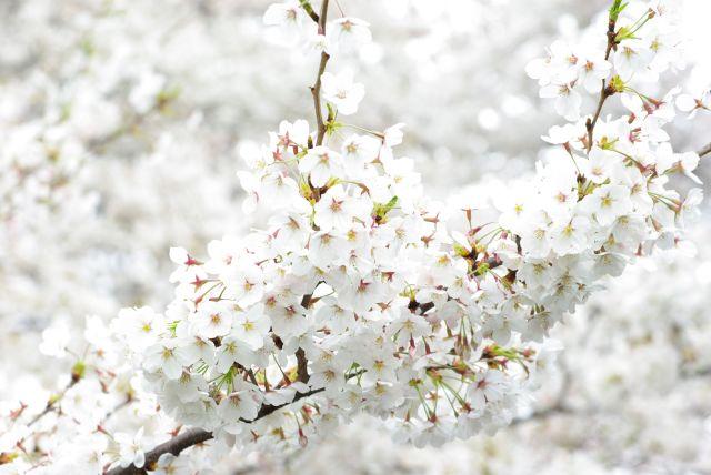 お花見・上野目黒川 646