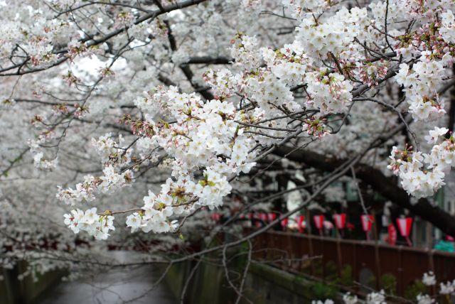 お花見・上野目黒川 687
