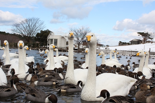 swan-20140116-lake01.jpg