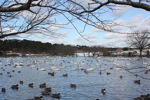 swan-20140116-lake02.jpg