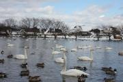 swan-20140116-lake03.jpg