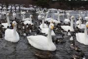 swan-20140116-lake04.jpg