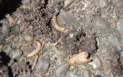スムシ(幼虫) 成虫(ハチノスツヅリガ)
