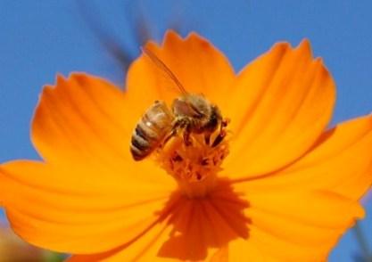 キバナコスモスと蜜蜂