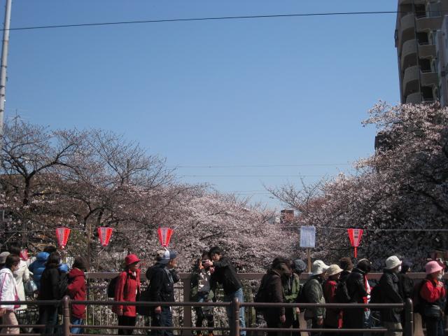 目黒川桜 005