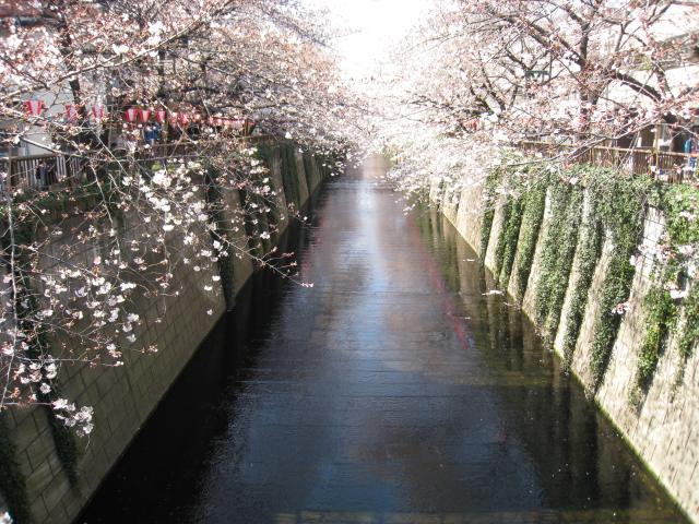 目黒川桜 002