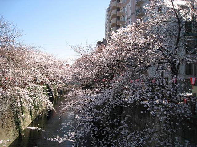 目黒川桜 001