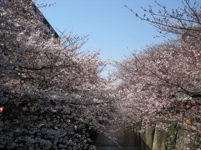 目黒川桜 009