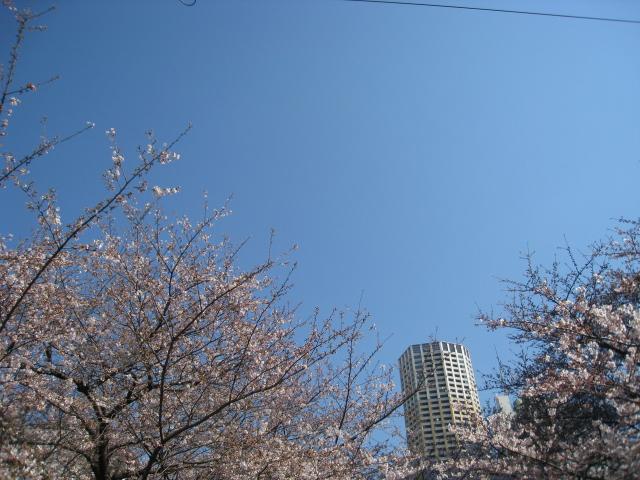 目黒川桜 031