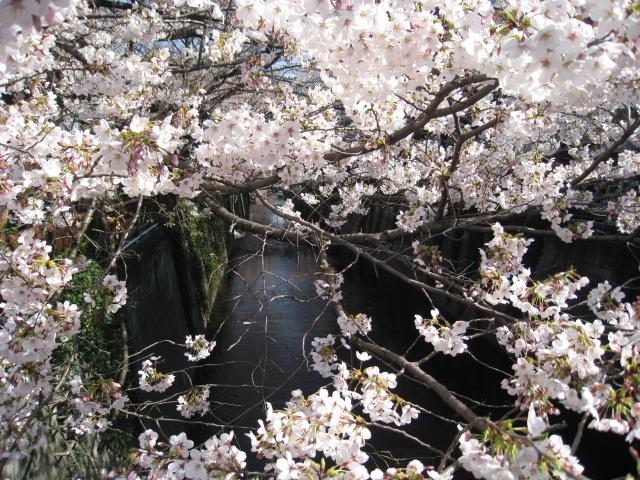 目黒川桜 029