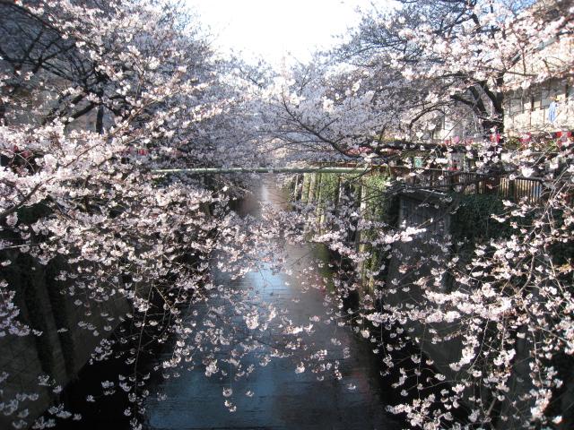 目黒川桜 027