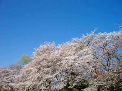 2012桜7