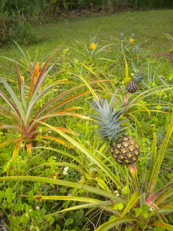 pineapple9.jpg
