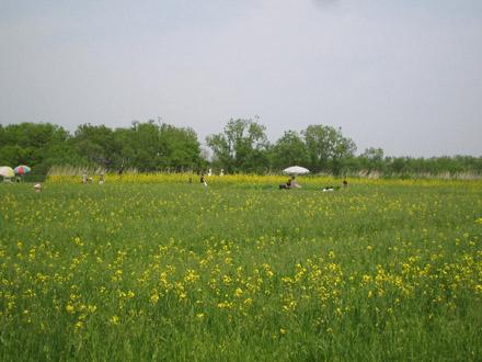 アブラナ畑