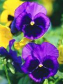 スミレ-紫