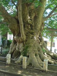 10.6.15サイクリング巨樹と県展 (5)