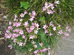 10.7.11三つ葉の花 (2)