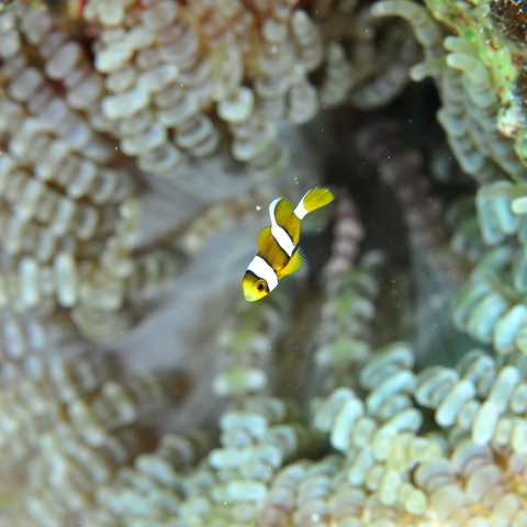 Three Banded Anemonefish
