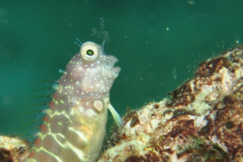 GRAY-BARRED BLENNY