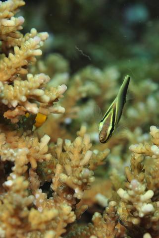 ミカドチョウチョウウオ(幼魚)