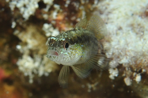 STRIPED GOBY