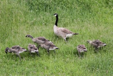 カナダガン(Canada Goose)