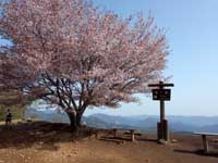 棒の嶺山頂の山桜