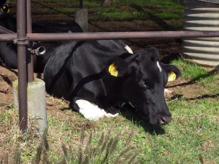 大野山乳牛育成牧場