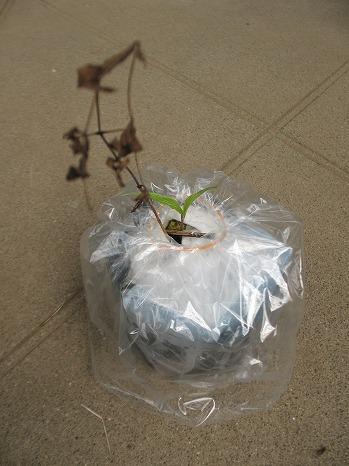 黒花ハンショウヅル (1)
