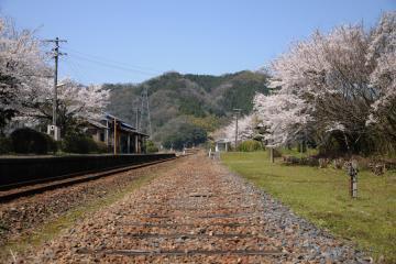 春爛漫の三江線(47)