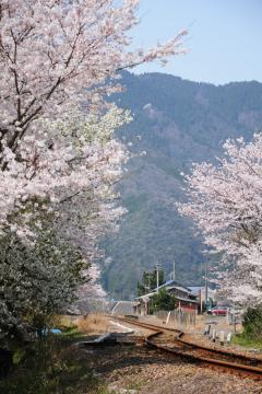 春爛漫の三江線(66)
