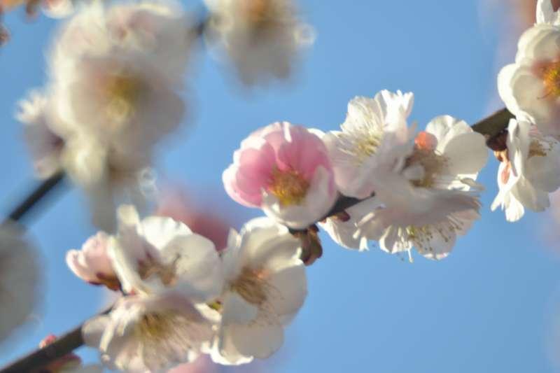 003白梅の花びら一部ピンク