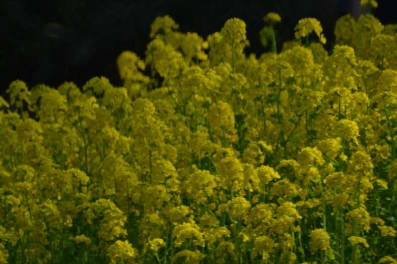 069菜の花